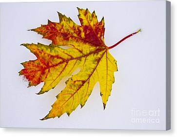 Changing Autumn Leaf In The Snow Canvas Print by James BO  Insogna