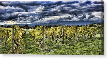 Chardonnay Vines Canvas Print by Douglas Barnard