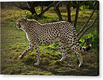 Cheetah  Canvas Print by Garry Gay