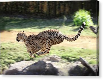 Cheetah Sprint Canvas Print by Joseph G Holland