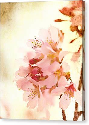 Cherry Blossom Canvas Print by Kim Fearheiley