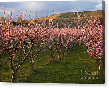 Cherry Blossom Pink Canvas Print by Mike  Dawson