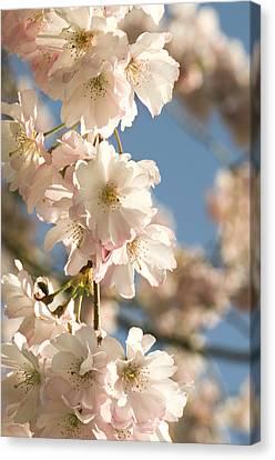 Cherry Blossom (prunus 'accolade') Canvas Print by Adrian Thomas