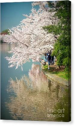 Cherry Blossoms On The Edge Of The Tidal Basin Canvas Print by Susan Isakson