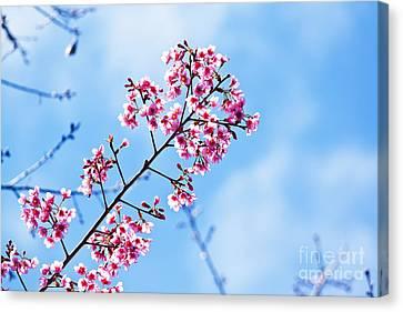 Cherry Blossoms Sakura Canvas Print by Chaloemphan Prasomphet