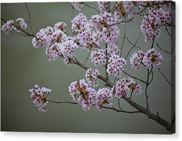 Cherry Tree Blossoms Hang Canvas Print by Hannele Lahti