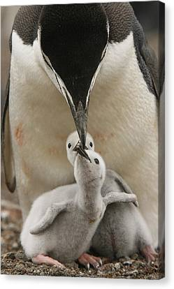 Chinstrap Penguin Feeding Two Chicks Canvas Print by Maria Stenzel