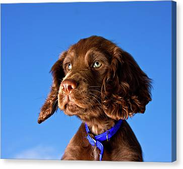 Chocolate Brown Cocker Spaniel Puppy Canvas Print by Andrew Davies