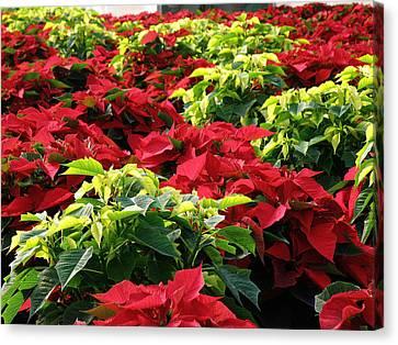 Christmas Color Canvas Print by FeVa  Fotos