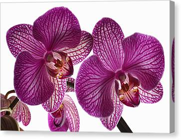 Classic Orchid. Canvas Print by Terence Davis