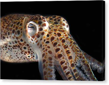 Close Up Of A Dwarf Cuttlefish, Sepiola Canvas Print by Darlyne A. Murawski