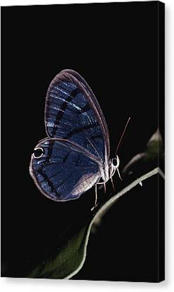 Close-up Of A Glassy-wing Butterfly Canvas Print by Mattias Klum