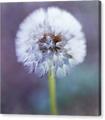 Close Up Of Dandelion Flower Canvas Print by Pamela N. Martin