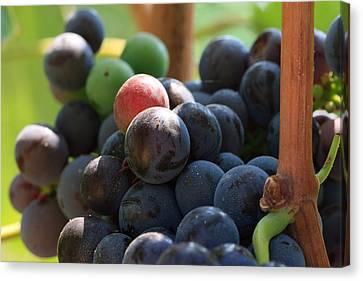 Close Up Of Wine Grapes Canvas Print by Dina Calvarese