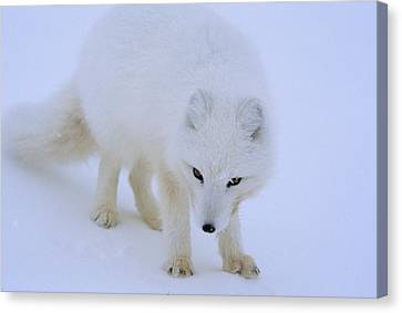 Close Up Portrait Of A White Arctic Canvas Print by Norbert Rosing