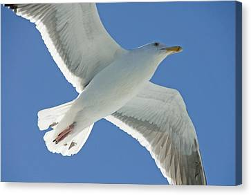 Close View Of A Flying Seagull Canvas Print by Stephen Sharnoff