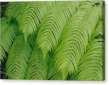 Close View Of Tree Ferns Cibotium Canvas Print by Marc Moritsch