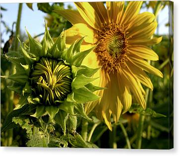 Closeup Of A Sunflower Bud Canvas Print by Amy White & Al Petteway