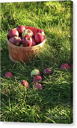 Closeup Of Freshly Picked Apples  Canvas Print by Sandra Cunningham
