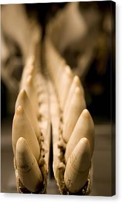 Closeup Of The Teeth Of A Sperm Whale Canvas Print by Tim Laman
