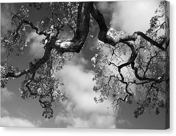 Cloudy Oak Canvas Print by Laurie Search