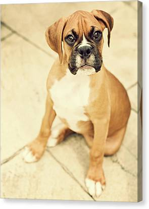 Clyde- Fawn Boxer Puppy Canvas Print by Jody Trappe Photography