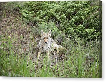 Colorado Coyote Canvas Print by Jenna Szerlag