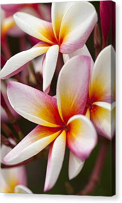 Colorful Plumeria Flowers  Canvas Print by Anek Suwannaphoom