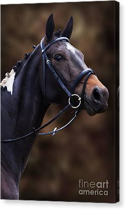 Coloured Show Horse Canvas Print by Ethiriel  Photography