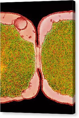 Coloured Tem Of E. Coli Bacteria Dividing Canvas Print by Dr Kari Lounatmaa
