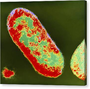 Coloured Tem Of Shigella Sp. Bacteria Canvas Print by London School Of Hygiene & Tropical Medicine