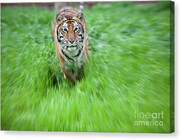 Coming To Get You Canvas Print by Keith Kapple
