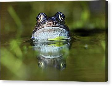 Common Frog In Pond Canvas Print by Iain Lawrie