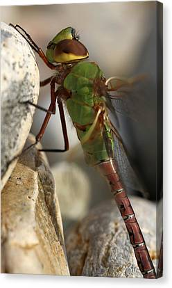 Common Green Darner Dragonfly Canvas Print by Juergen Roth