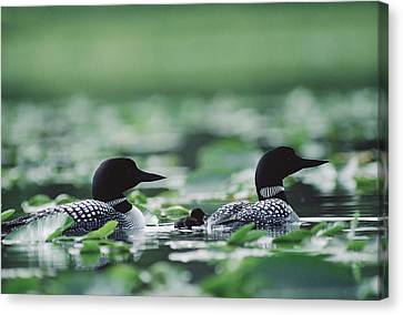 Common Loon Gavia Immer Mated Couple Canvas Print by Michael Quinton