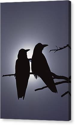 Common Raven Corvus Corax Pair Perching Canvas Print by Michael Quinton