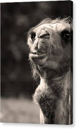 Connoisseur Of Fine Humps Canvas Print by Barbara  White