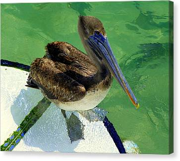 Cool Footed Pelican Canvas Print by Karen Wiles