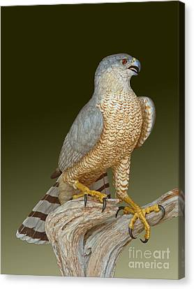 Cooper's Hawk Canvas Print by David Tabor