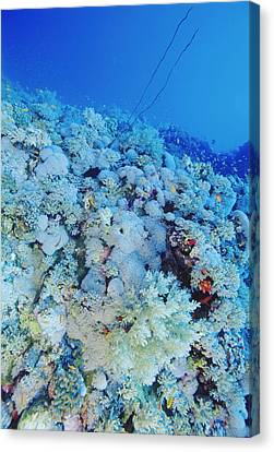 Coral Reef Canvas Print by Alexis Rosenfeld