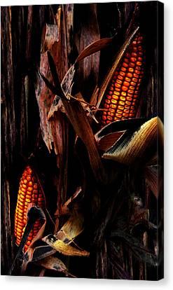 Corn Stalks Canvas Print by Rachel Christine Nowicki