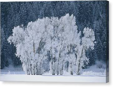 Cottonwood Trees With Frost Canvas Print by Skip Brown