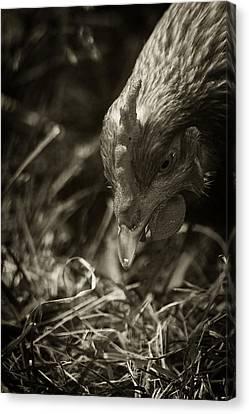 Country Chicken 9 Canvas Print by Scott Hovind