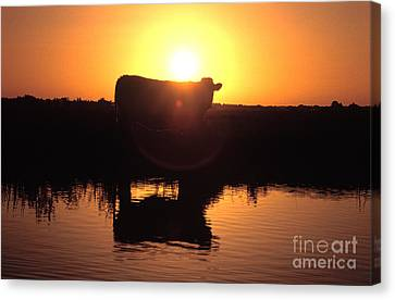 Cow At Sundown Canvas Print by Picture Partners and Photo Researchers