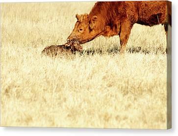 Cow Smelling Newborn Calf Canvas Print by ©Debbie Prediger Photography