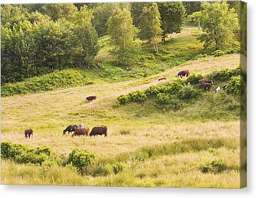 Cows Grazing In Field Rockport Maine Canvas Print by Keith Webber Jr