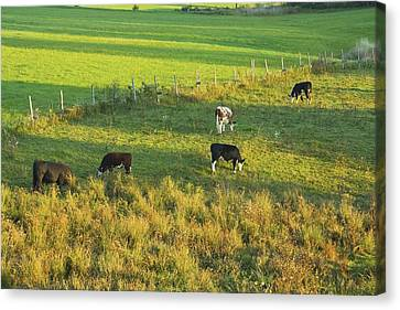 Cows Grazing In Late Day Light On Farm Maine Canvas Print by Keith Webber Jr