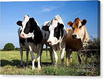 Cows Canvas Print by Jane Rix