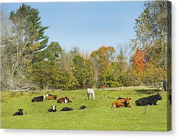 Cows Laying On Grass In Farm Field Autumn Maine Canvas Print by Keith Webber Jr