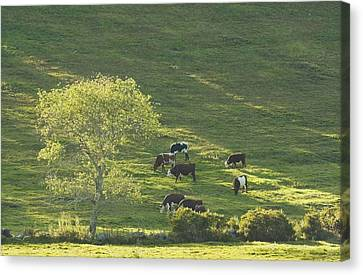 Cows On Hillside Summer In Maine Canvas Print by Keith Webber Jr